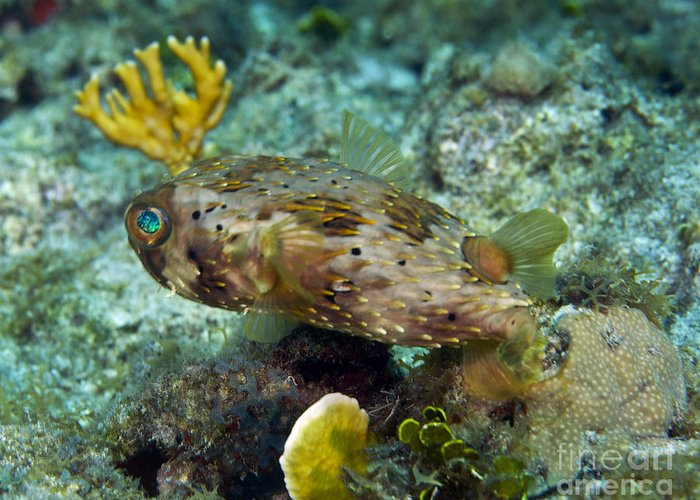 Sea Life Greeting Card featuring the photograph A Long-spined Porcupinefish, Key Largo by Terry Moore