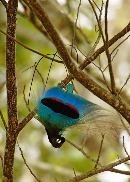 Outdoors Greeting Card featuring the photograph A Male Blue Bird Of Paradise Performing by Tim Laman