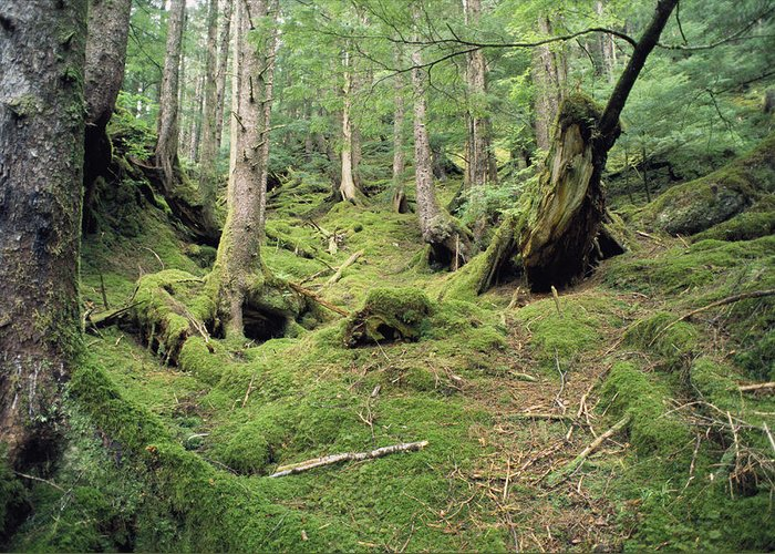 North America Greeting Card featuring the photograph A Mossy Woodland View On Queen by Bill Curtsinger