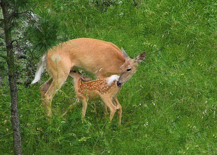 Doe Greeting Card featuring the photograph A Mother's Love - Doe And Fawn by Christine Till