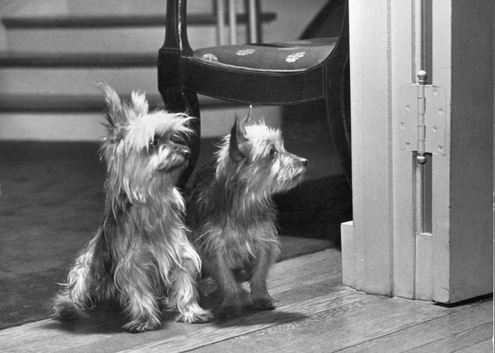 Black And White Greeting Card featuring the photograph A Pair Of Australian Silky Terriers by Willard Culver