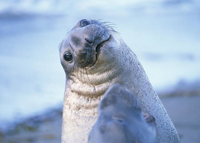 North America Greeting Card featuring the photograph A Portrait Of A Northern Elephant Seal by Rich Reid