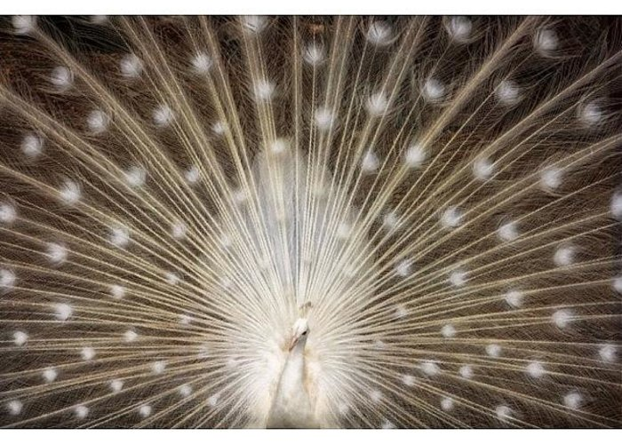 Greeting Card featuring the photograph A Rare White Peacock In Full Display by Larry Marshall