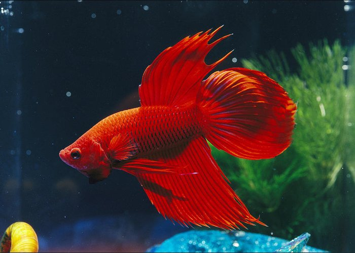 Australia Greeting Card featuring the photograph A Red Siamese Fighting Fish In An by Jason Edwards