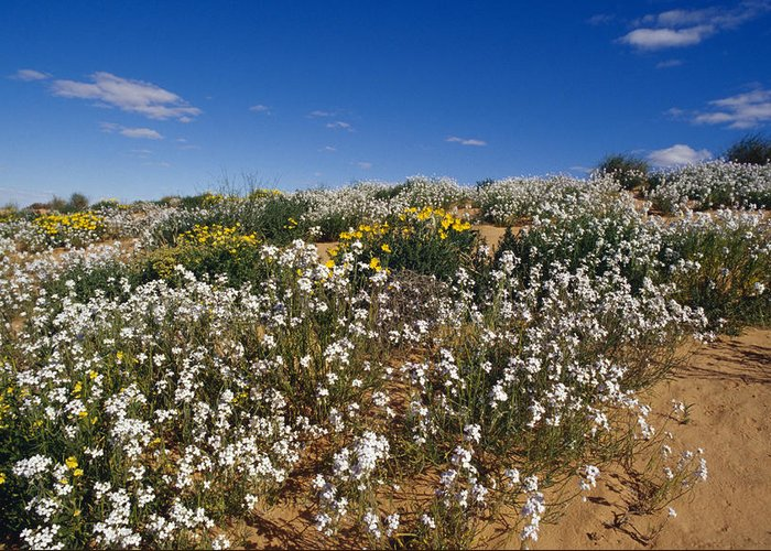Simpson Desert Conservation Park Greeting Card featuring the photograph A Riot Of Wild Stock Flowers And Annual by Jason Edwards