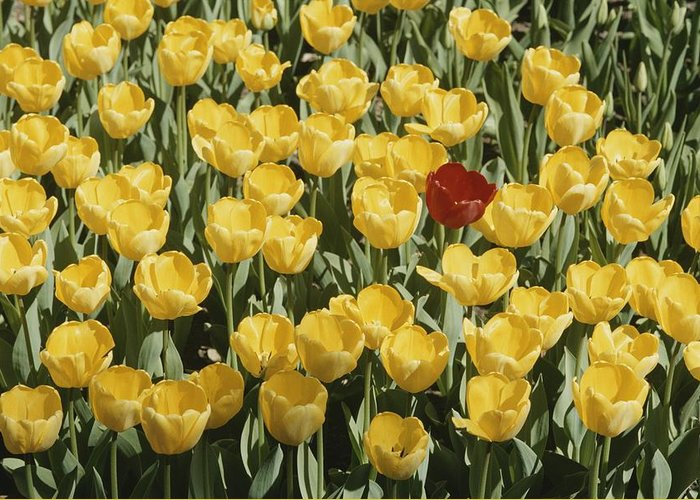 Plants Greeting Card featuring the photograph A Single Red Tulip Among Yellow Tulips by Ted Spiegel