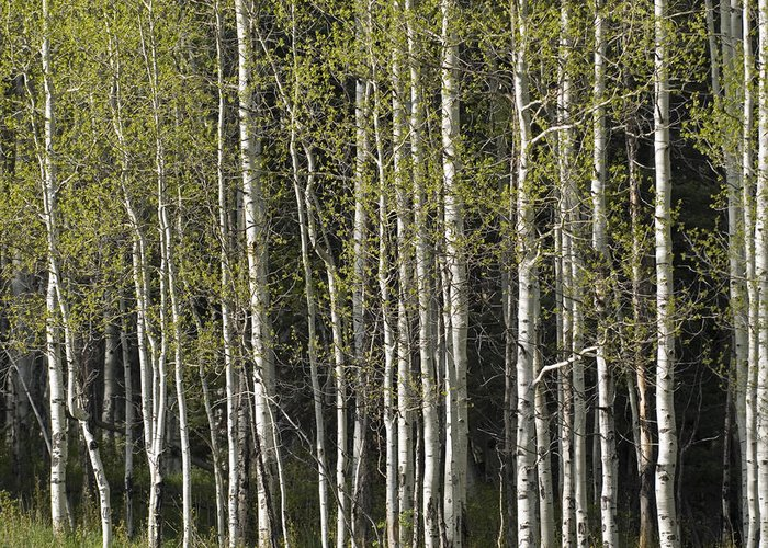Aspen Trees Greeting Card featuring the photograph A Stand Of Aspen Trees At Wolf Creek by Rich Reid