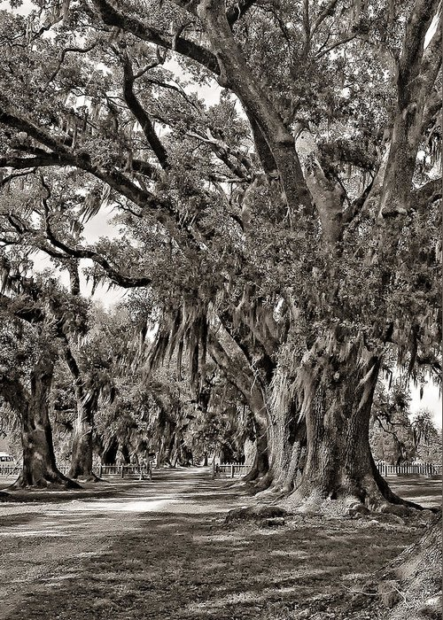 Evergreen Plantation Greeting Card featuring the photograph A Stroll Through Time Monochrome by Steve Harrington