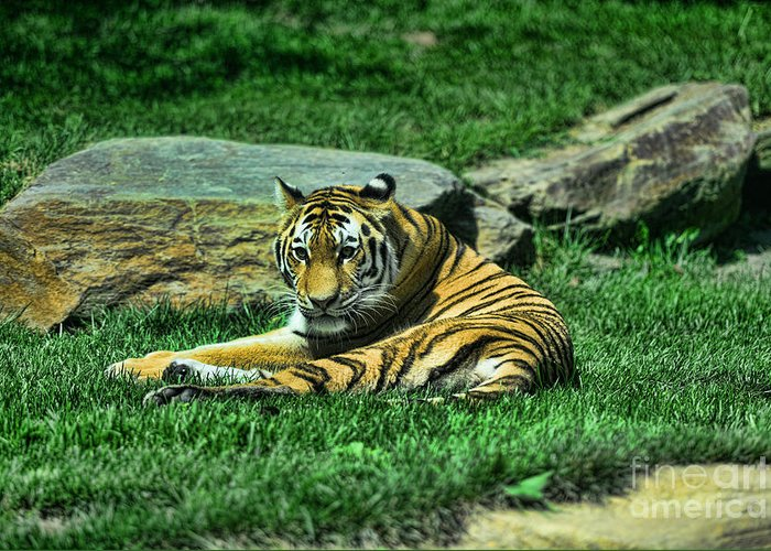 The Tiger's Gaze Greeting Card featuring the photograph A Tiger's Gaze by Paul Ward