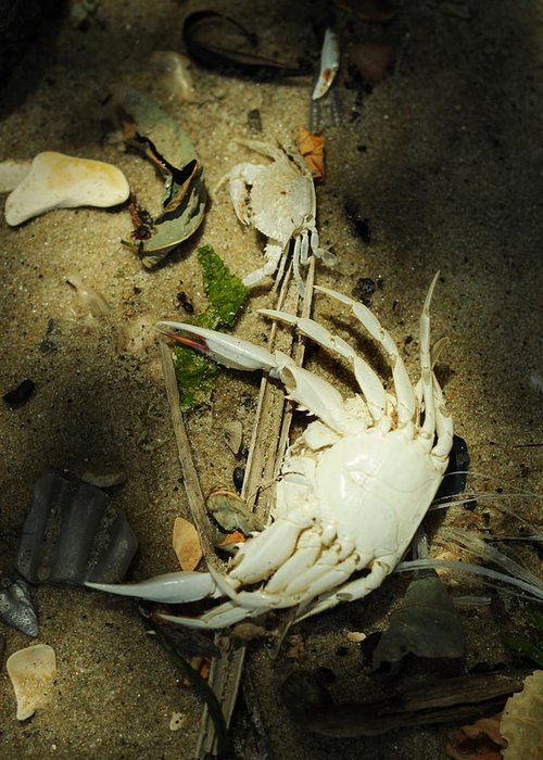 Blue Crab Greeting Card featuring the photograph A Time To Shed by Rebecca Sherman