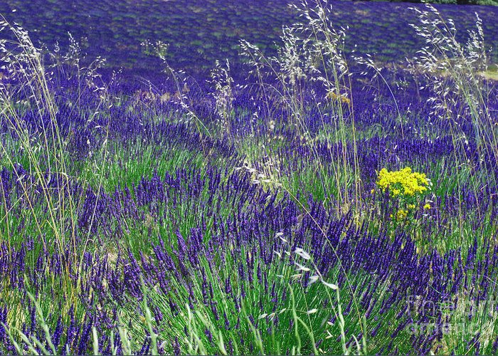 Lavender Fields Greeting Card featuring the photograph A Touch Of Yellow by Andrea Simon