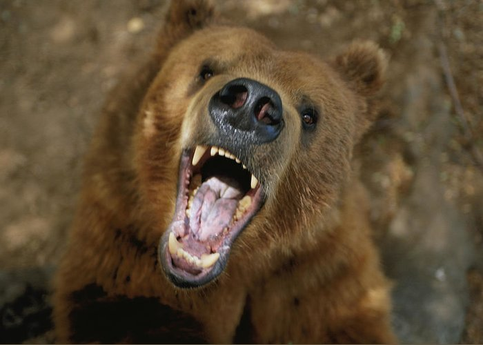 Portraits Greeting Card featuring the photograph A Trained Kodiak Bear With Its Mouth by Joel Sartore