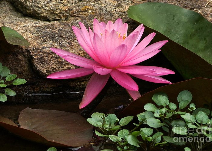 Pink Waterlily Greeting Card featuring the photograph A Waterlily's Grace by Byron Varvarigos