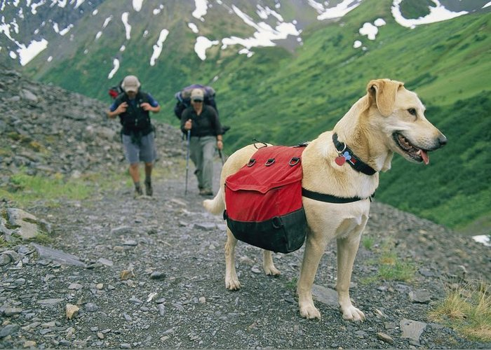 Hikers And Hiking Greeting Card featuring the photograph A Yellow Labrador, Wearing A Backpack by Rich Reid
