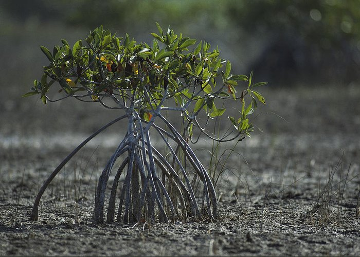 Plants Greeting Card featuring the photograph A Young Mangrove Tree by Klaus Nigge