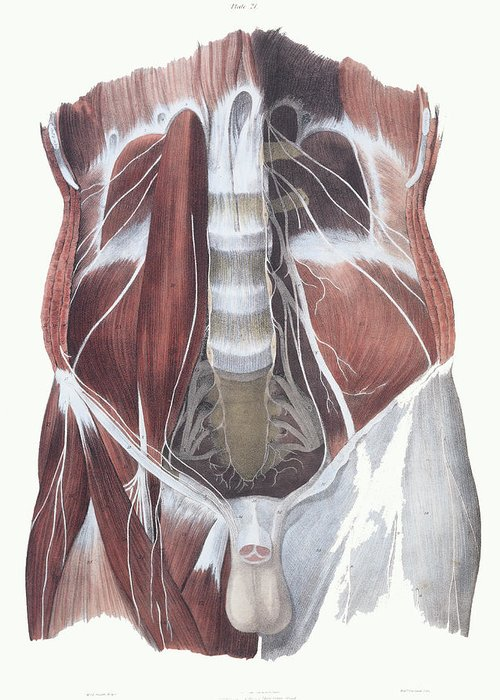 Muscle Greeting Card featuring the photograph Abdominal Spinal Nerves by Sheila Terry