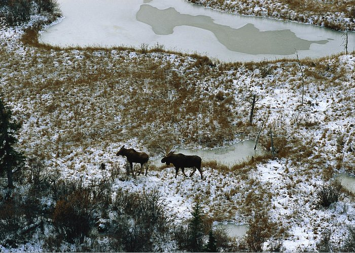 North America Greeting Card featuring the photograph Aerial Of A Male And Female Moose by Norbert Rosing