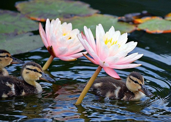 Ducklings Greeting Card featuring the photograph Afloat Among Lillies by Fraida Gutovich