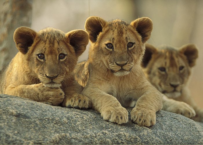 00171962 Greeting Card featuring the photograph African Lion Three Cubs Resting by Tim Fitzharris