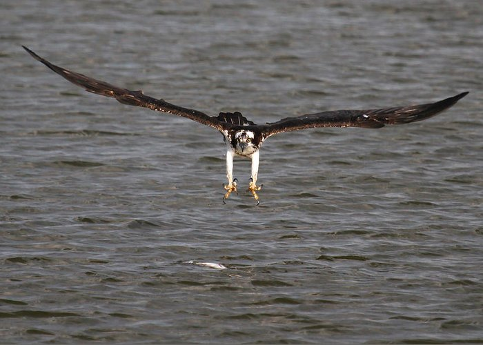 Osprey Prints Greeting Card featuring the photograph Air Strike by Paul Marto