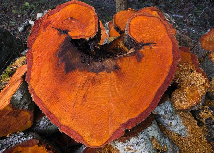 Heart Shape Greeting Card featuring the photograph Alder Heart by Derek Holzapfel