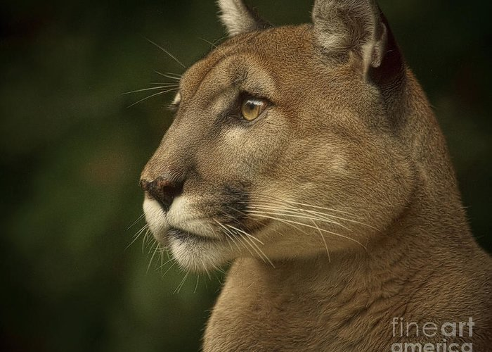 Big Cats Greeting Card featuring the photograph Alert by Cheri McEachin