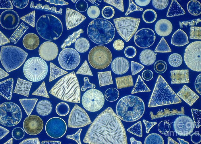 Micrograph Greeting Card featuring the photograph Algae, Fossil Diatoms, Lm by M. I. Walker