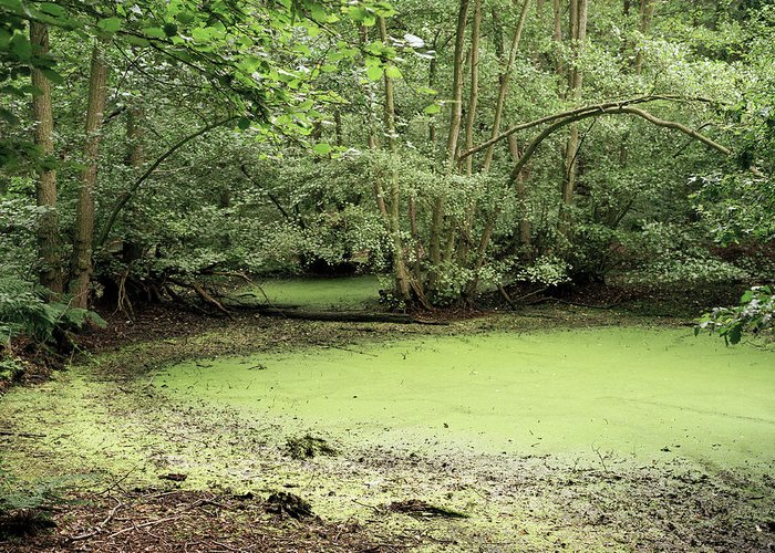 Blue-green Algae Greeting Card featuring the photograph Algal Bloom In Pond by Michael Marten