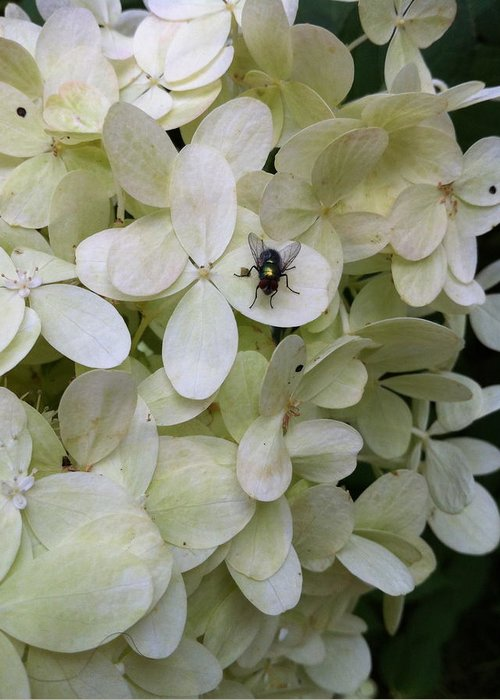 Hydrangea Greeting Card featuring the photograph All Alone In The Limelight by Nelson F Martinez