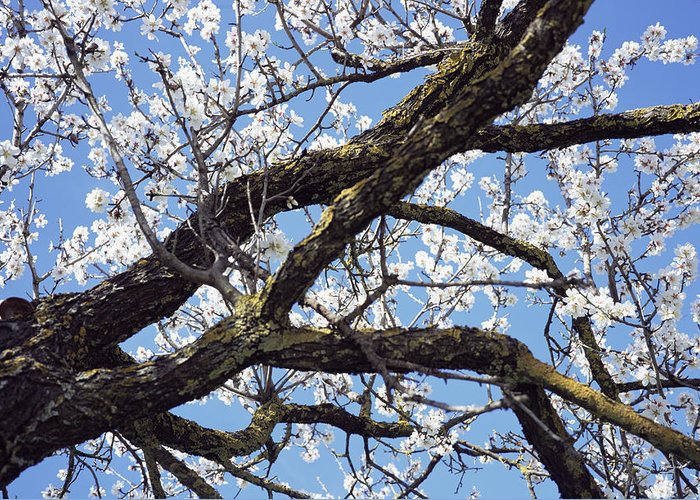 Almond Greeting Card featuring the photograph Almond Blossom by Dirk Wiersma