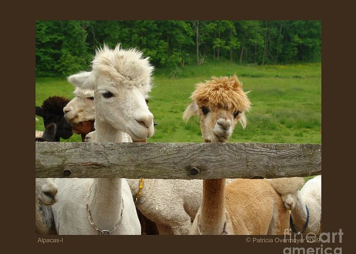 Animals Greeting Card featuring the photograph Alpacas-i by Patricia Overmoyer