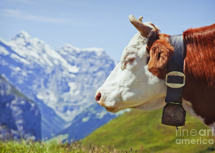 Alps Greeting Card featuring the photograph Alpine Cow by Greg Stechishin