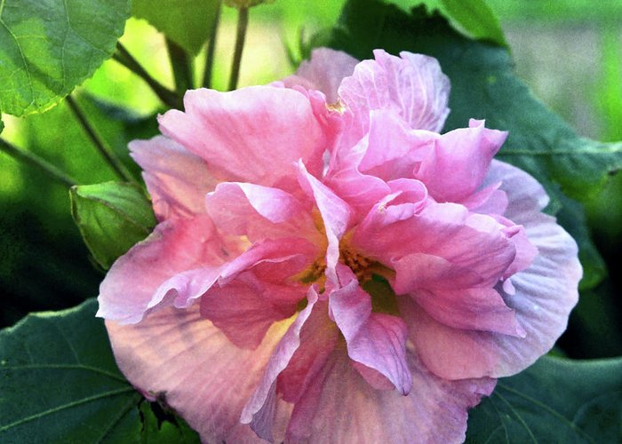 Althea Greeting Card featuring the photograph Althea Rose Of Sharon by Kevin Smith