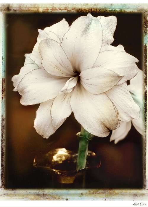 Floral Greeting Card featuring the photograph Amarylis by Linda Olsen