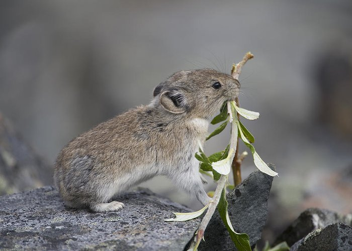 Mp Greeting Card featuring the photograph American Pika by Michael Quinton