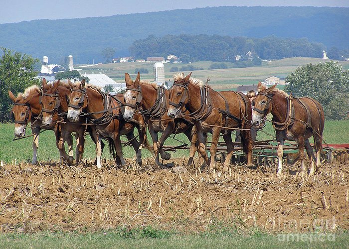 Mules Greeting Card featuring the photograph Amish Working Team by Louise Peardon