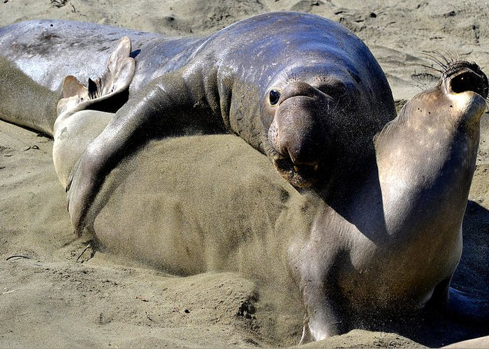 Elephant Seals Greeting Card featuring the photograph Amorous by Fraida Gutovich