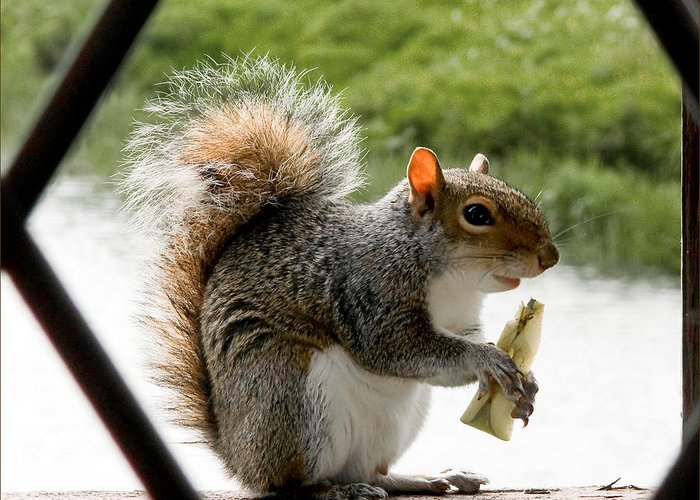 Squirrel Greeting Card featuring the photograph An Apple A Day by Barry Hayton