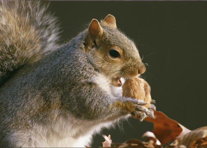United States Greeting Card featuring the photograph An Eastern Gray Squirrel Sciurus by Chris Johns