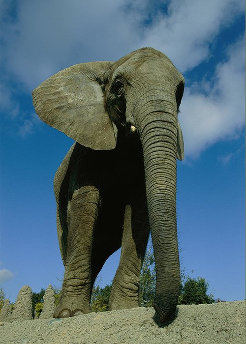 Low Angle View Greeting Card featuring the photograph An Elephant At The Pittsburgh Zoo. This by Michael Nichols