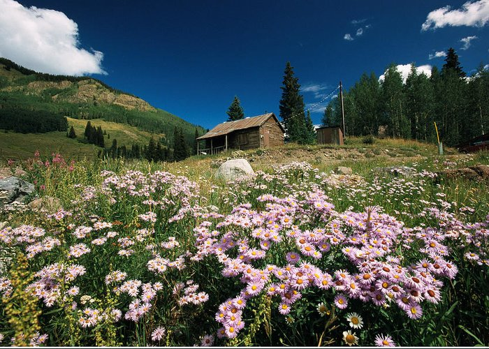North America Greeting Card featuring the photograph An Old Miners Cabin With Purple Asters by Richard Nowitz