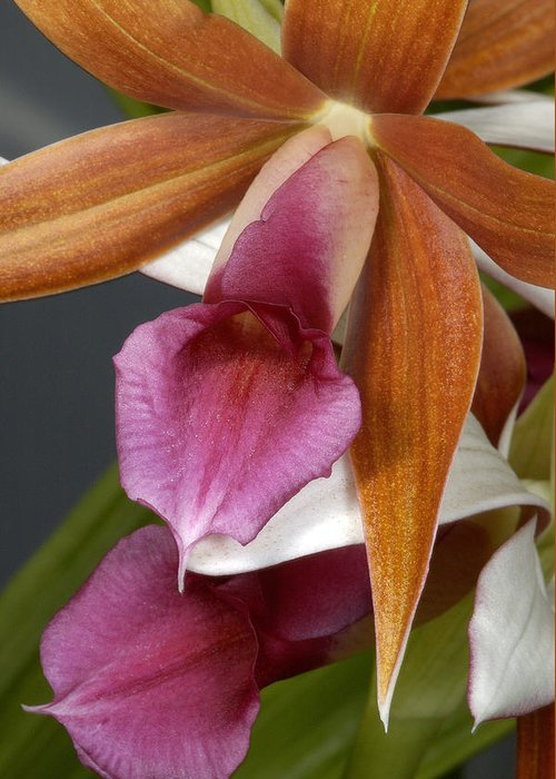Orchid Greeting Card featuring the photograph An Orchid, Probably A Cattleya Hybrid by Stephen Sharnoff