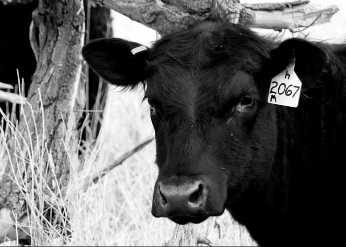 Cattle Photographs Greeting Card featuring the photograph Angus Cow In Black And White by Tam Graff