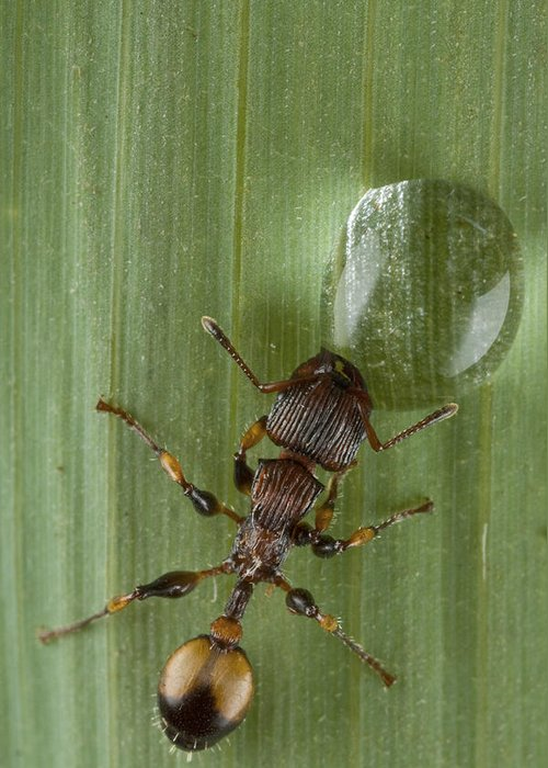 00479043 Greeting Card featuring the photograph Ant Drinking From Water Droplet Papua by Piotr Naskrecki