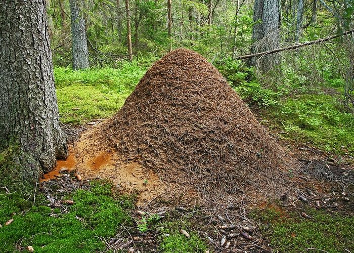 Ant Greeting Card featuring the photograph Ant Hill by Bjorn Svensson