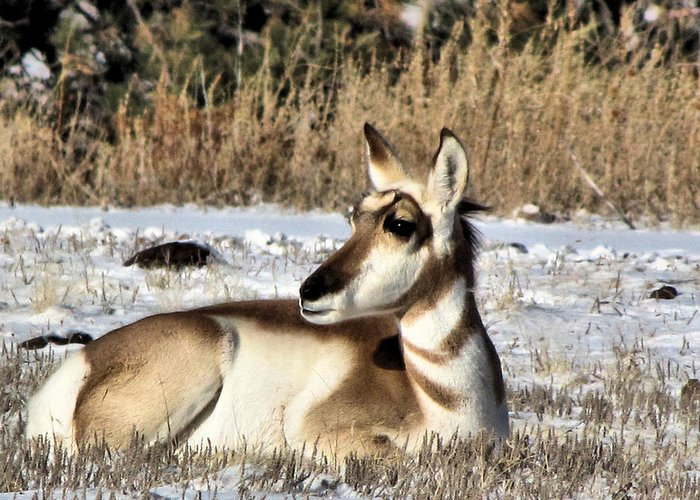 Antelope Greeting Card featuring the photograph Antelope In Wintertime by Marion Muhm