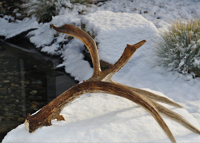 Mule Greeting Card featuring the photograph Antler 2 by Heather L Wright