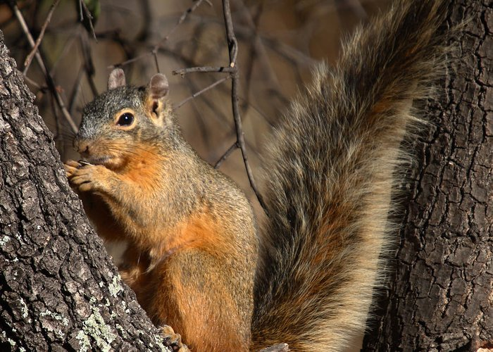 Nature Greeting Card featuring the photograph Apache Fox Squirrel by David Salter