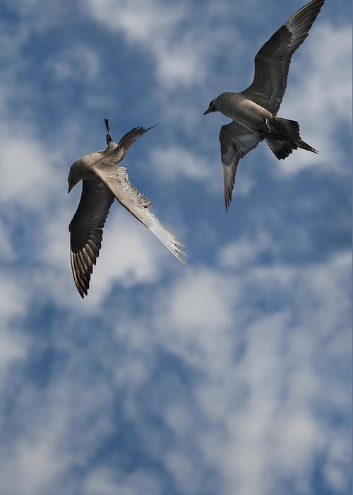 Sea Bird Greeting Card featuring the photograph Arctic Skuas by Andy Astbury