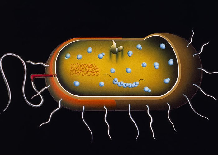 Microbiology Greeting Card featuring the photograph Artwork Of Structure Of A Bacterium by Francis Leroy, Biocosmos